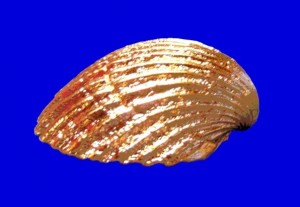 Golden Plated Shell